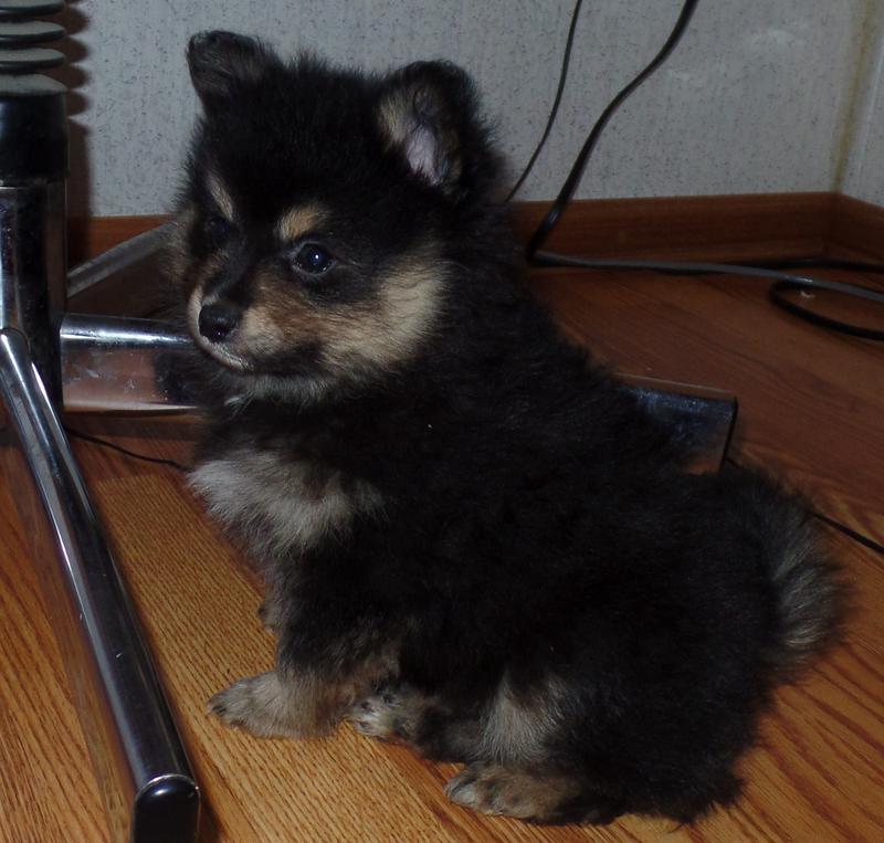 Pomeranian Puppies Oklahoma Jm Sunshine Pomeranians